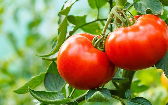 Qazaxıstan Azərbaycandan pomidor idxalını dayandırdı