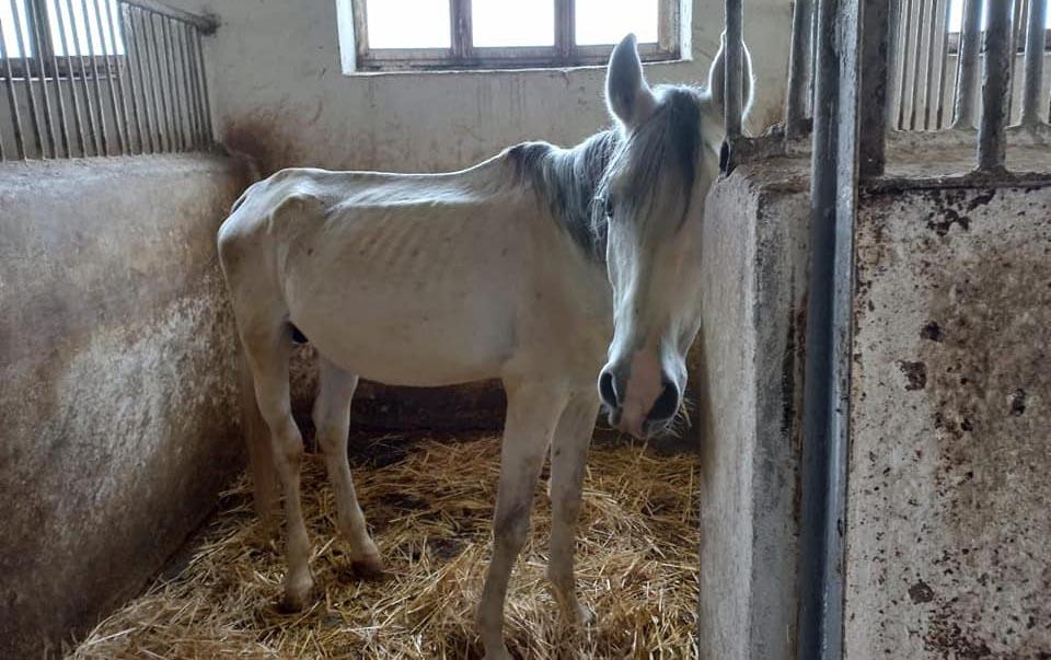 Atçılıq Mərkəzindəki atlar niyə acından ölür?