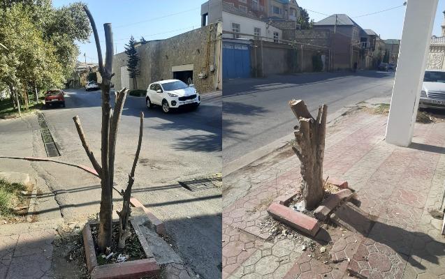 Ağacları kəsib təbiətə 1200 manat ziyan vurdular